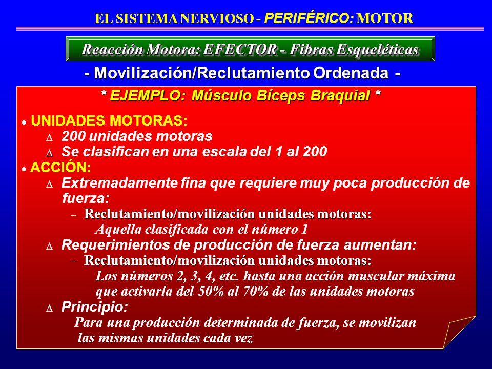 UNIDADES MOTORAS: 200 unidades motoras Se clasifican en una escala del 1 al 200 ACCIÓN: Extremadamente fina que requiere muy poca producción de fuerza