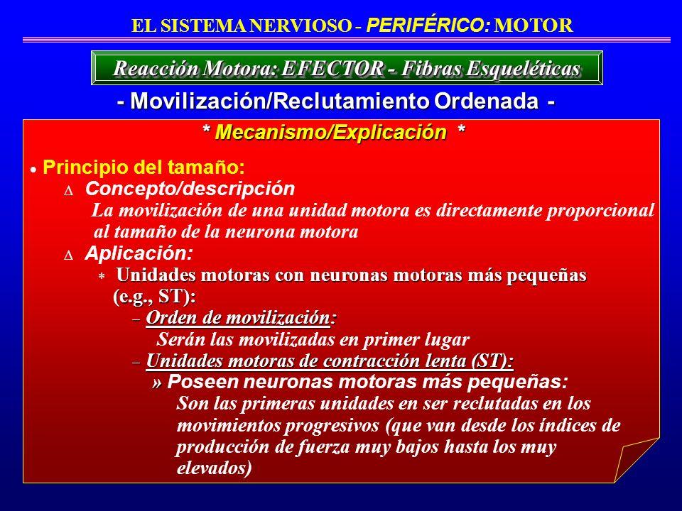 Principio del tamaño: Concepto/descripción La movilización de una unidad motora es directamente proporcional al tamaño de la neurona motora Aplicación
