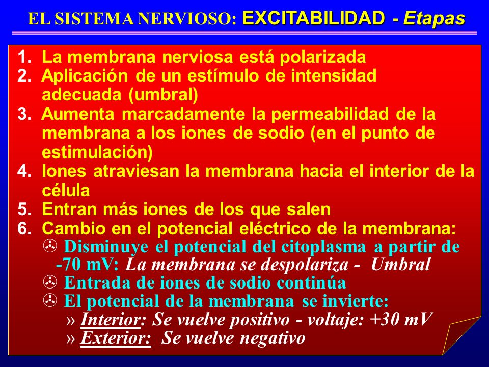 EXCITABILIDAD - Etapas EL SISTEMA NERVIOSO: EXCITABILIDAD - Etapas 1. La membrana nerviosa está polarizada 2. Aplicación de un estímulo de intensidad