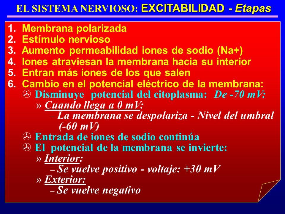 EXCITABILIDAD - Etapas EL SISTEMA NERVIOSO: EXCITABILIDAD - Etapas 1. Membrana polarizada 2. Estímulo nervioso 3. Aumento permeabilidad iones de sodio