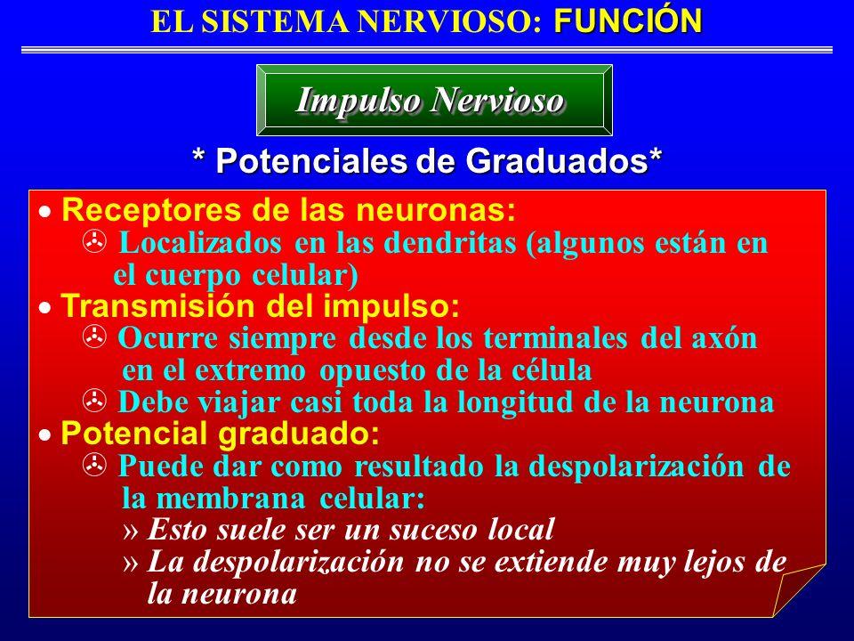 FUNCIÓN EL SISTEMA NERVIOSO: FUNCIÓN * Potenciales de Graduados* Impulso Nervioso Receptores de las neuronas: Localizados en las dendritas (algunos es