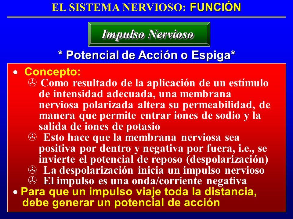 FUNCIÓN EL SISTEMA NERVIOSO: FUNCIÓN * Potencial de Acción o Espiga* Impulso Nervioso Concepto: Como resultado de la aplicación de un estímulo de inte