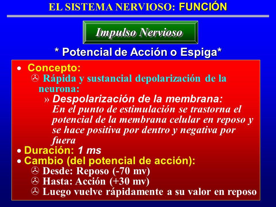 FUNCIÓN EL SISTEMA NERVIOSO: FUNCIÓN * Potencial de Acción o Espiga* Impulso Nervioso Concepto: Rápida y sustancial depolarización de la neurona: » De