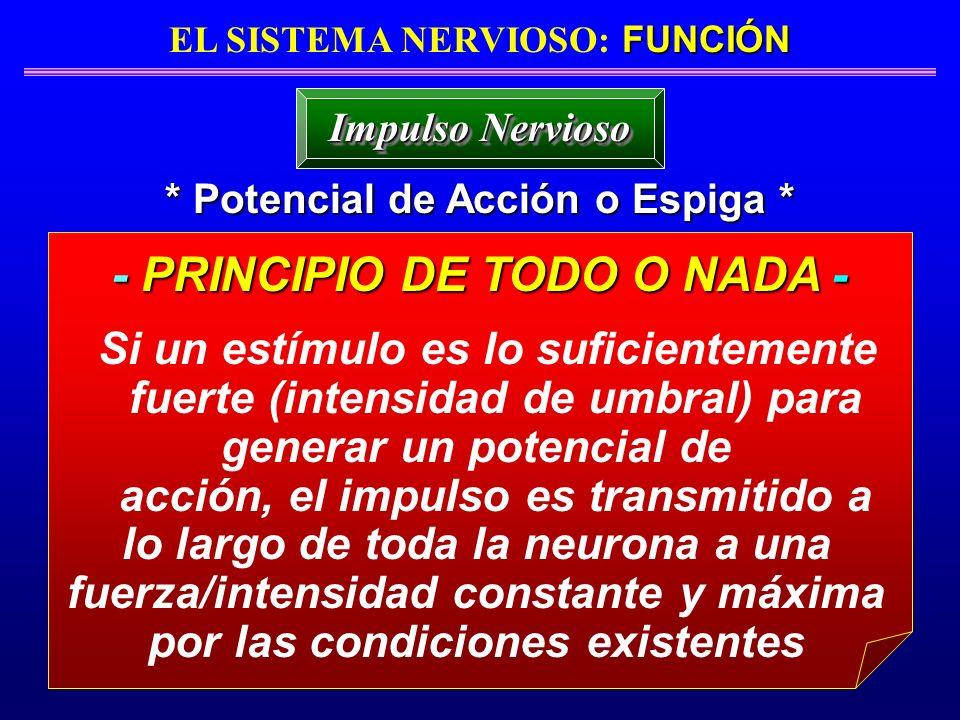 FUNCIÓN EL SISTEMA NERVIOSO: FUNCIÓN * Potencial de Acción o Espiga * Impulso Nervioso - PRINCIPIO DE TODO O NADA - Si un estímulo es lo suficientemen