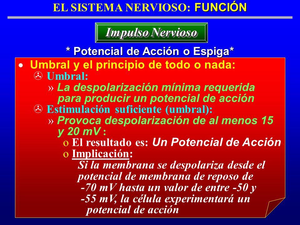 FUNCIÓN EL SISTEMA NERVIOSO: FUNCIÓN * Potencial de Acción o Espiga* Impulso Nervioso Umbral y el principio de todo o nada: Umbral: » La despolarizaci