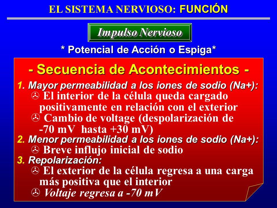 FUNCIÓN EL SISTEMA NERVIOSO: FUNCIÓN * Potencial de Acción o Espiga* Impulso Nervioso - Secuencia de Acontecimientos - Mayor permeabilidad a los iones
