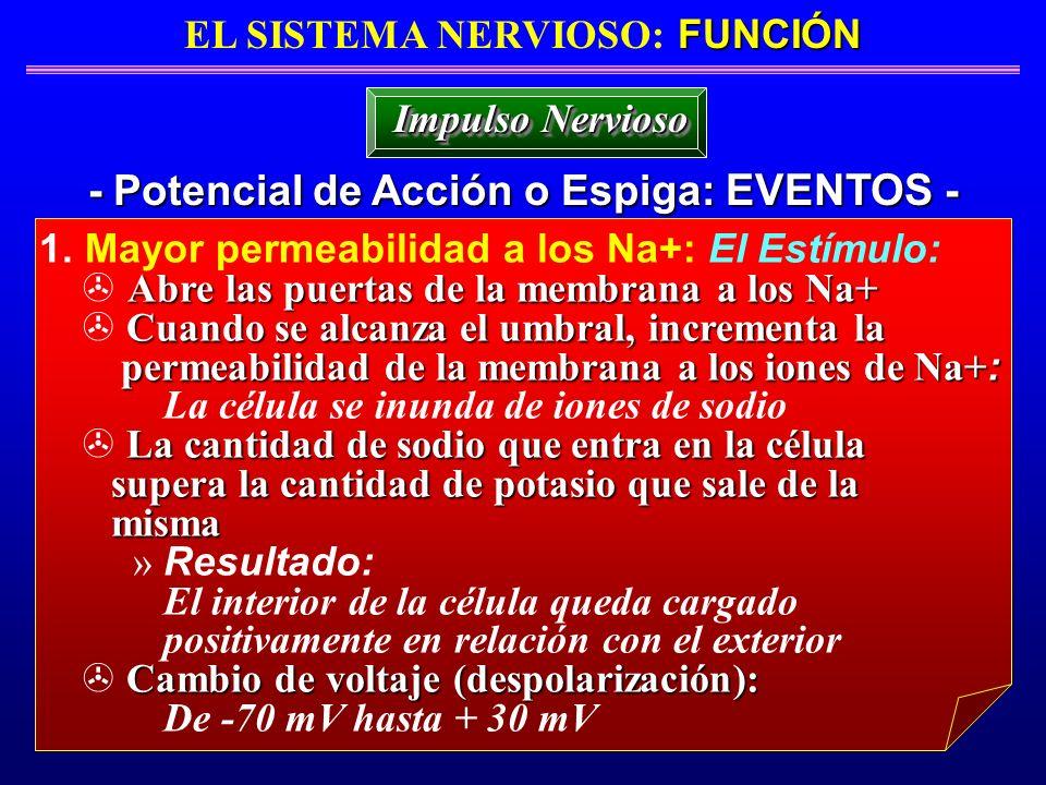 FUNCIÓN EL SISTEMA NERVIOSO: FUNCIÓN - Potencial de Acción o Espiga: EVENTOS - Impulso Nervioso 1. Mayor permeabilidad a los Na+: El Estímulo: Abre la