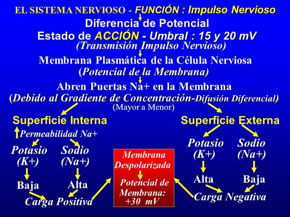 FUNCIÓN : Impulso Nervioso EL SISTEMA NERVIOSO - FUNCIÓN : Impulso Nervioso Diferencia de Potencial ACCIÓN - Umbral : 15 y 20 mV Estado de ACCIÓN - Um