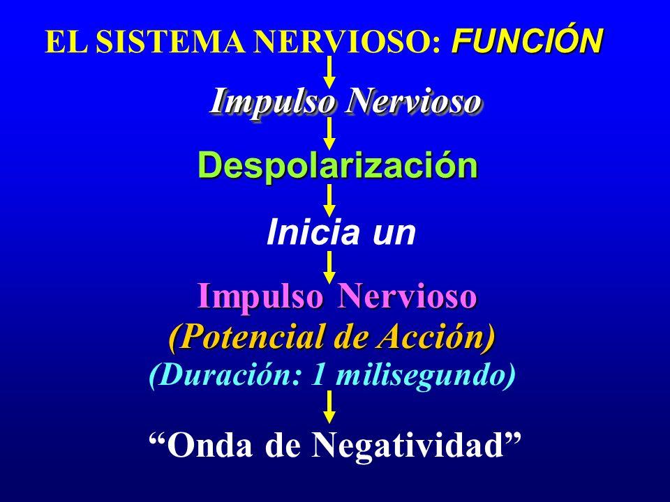 FUNCIÓN EL SISTEMA NERVIOSO: FUNCIÓN Impulso Nervioso Despolarización Despolarización Impulso Nervioso (Potencial de Acción) (Duración: 1 milisegundo)