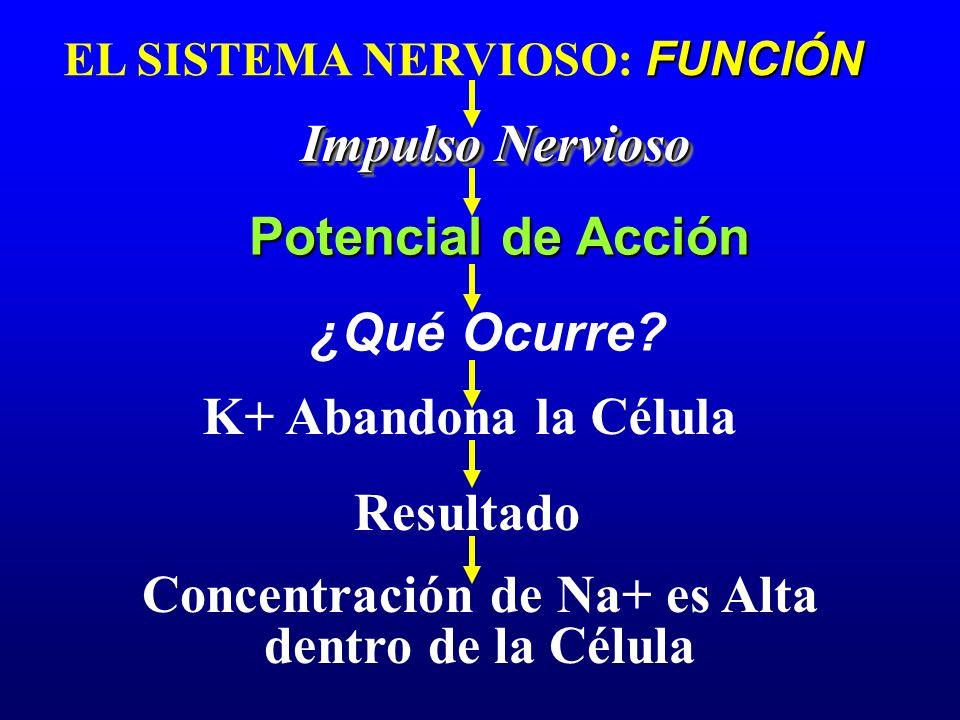 FUNCIÓN EL SISTEMA NERVIOSO: FUNCIÓN Impulso Nervioso Potencial de Acción K+ Abandona la Célula ¿Qué Ocurre? Resultado Concentración de Na+ es Alta de
