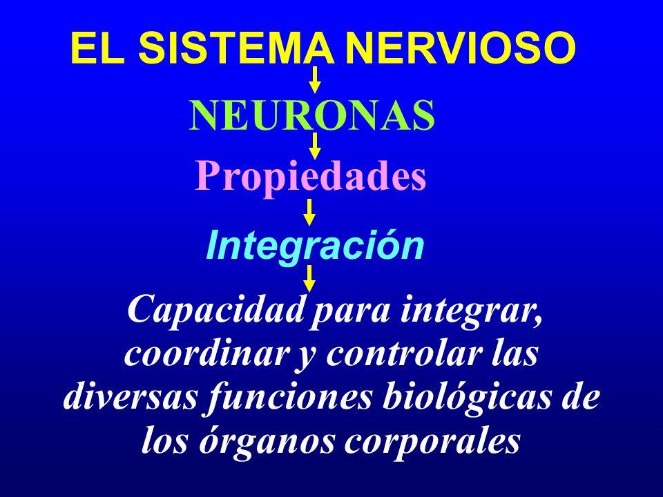 EL SISTEMA NERVIOSO Sistema Sensor (Aferente) Mecanorreceptores SISTEMA NERVIOSO PERIFÉRICO (SNP) Receptores Quimiorreceptores Termorreceptores Nociceptores Fotorreceptores