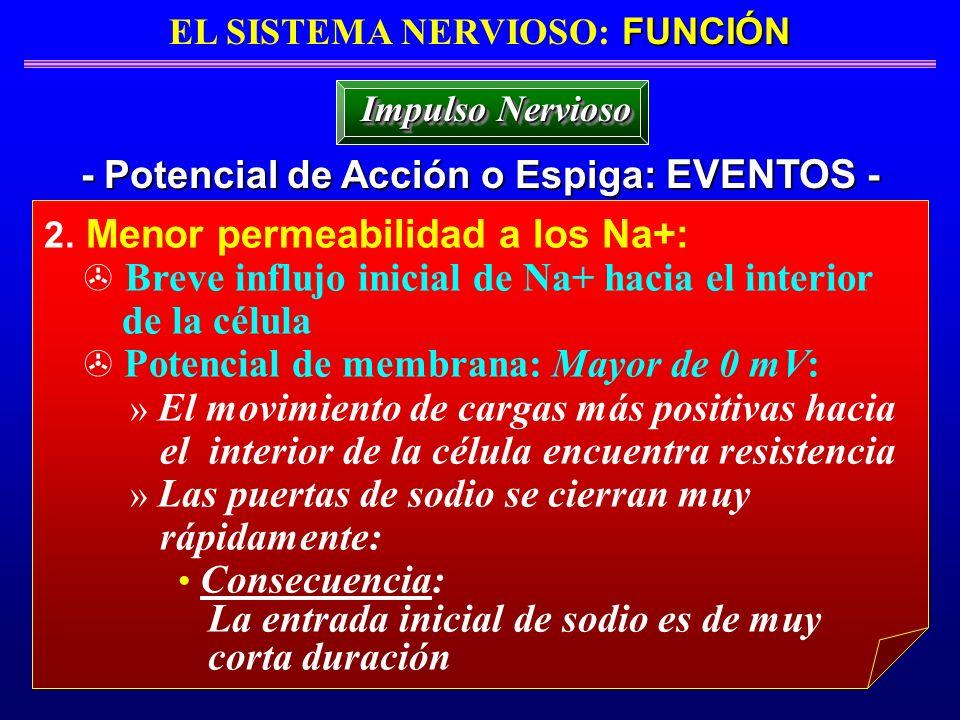 FUNCIÓN EL SISTEMA NERVIOSO: FUNCIÓN - Potencial de Acción o Espiga: EVENTOS - Impulso Nervioso 2. Menor permeabilidad a los Na+: Breve influjo inicia