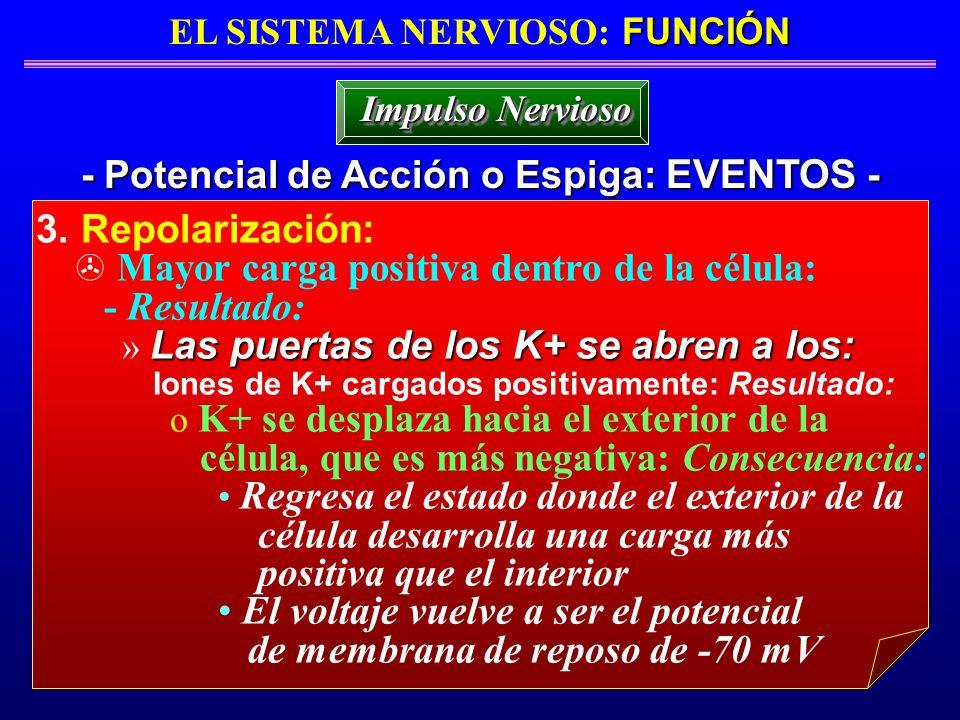 FUNCIÓN EL SISTEMA NERVIOSO: FUNCIÓN - Potencial de Acción o Espiga: EVENTOS - Impulso Nervioso 3. Repolarización: Mayor carga positiva dentro de la c