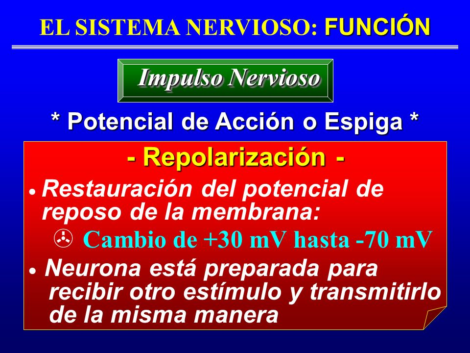 FUNCIÓN EL SISTEMA NERVIOSO: FUNCIÓN * Potencial de Acción o Espiga * Impulso Nervioso - Repolarización - Restauración del potencial de reposo de la m