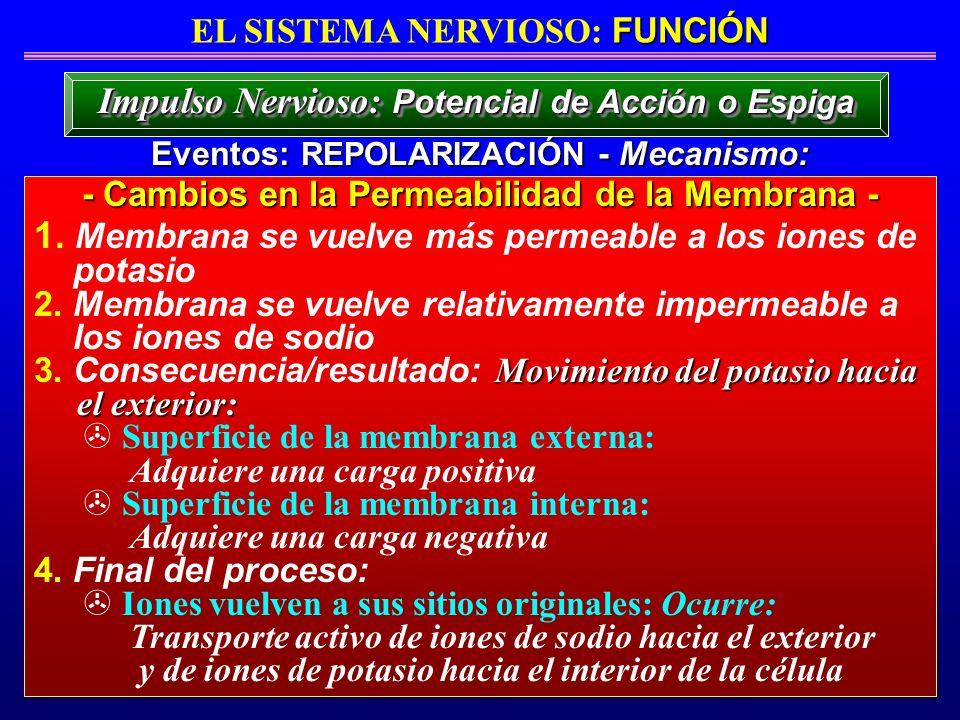 FUNCIÓN EL SISTEMA NERVIOSO: FUNCIÓN Eventos: REPOLARIZACIÓN - Mecanismo: Impulso Nervioso: Potencial de Acción o Espiga - Cambios en la Permeabilidad
