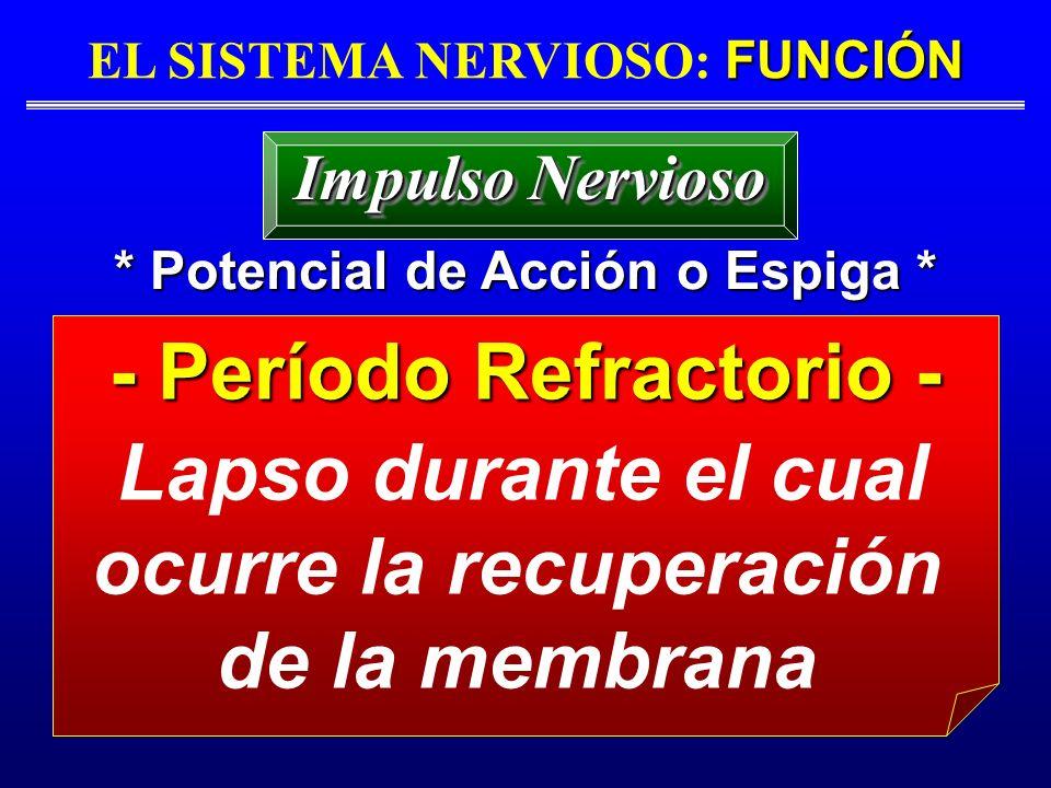FUNCIÓN EL SISTEMA NERVIOSO: FUNCIÓN * Potencial de Acción o Espiga * - Período Refractorio - Lapso durante el cual ocurre la recuperación de la membr