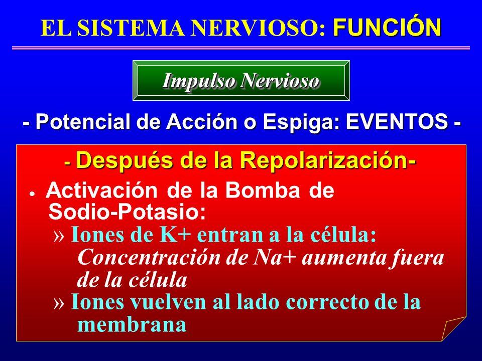FUNCIÓN EL SISTEMA NERVIOSO: FUNCIÓN - Potencial de Acción o Espiga: EVENTOS - Impulso Nervioso - Después de la Repolarización- - Después de la Repola
