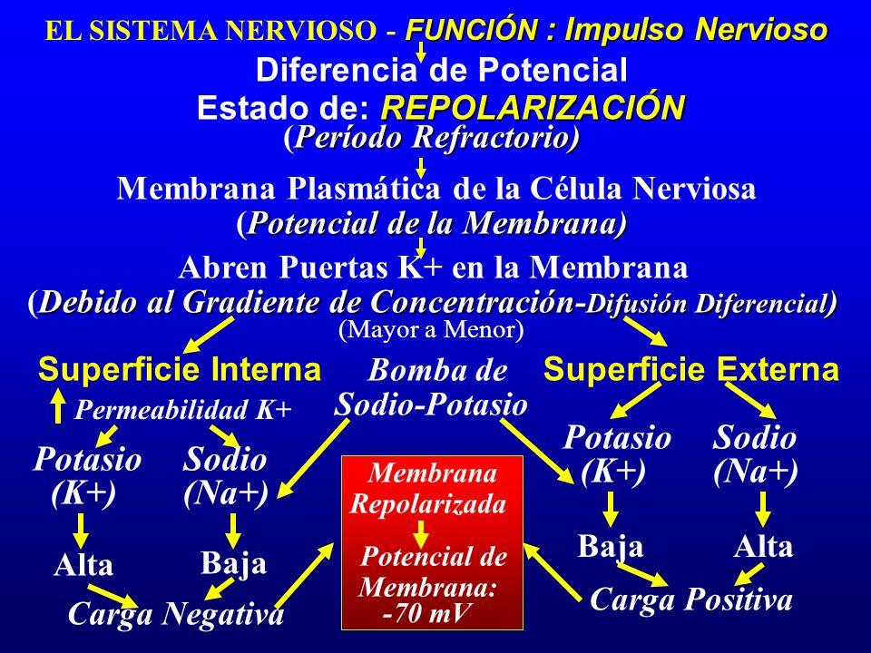 FUNCIÓN : Impulso Nervioso EL SISTEMA NERVIOSO - FUNCIÓN : Impulso Nervioso Diferencia de Potencial REPOLARIZACIÓN Estado de: REPOLARIZACIÓN Potencial