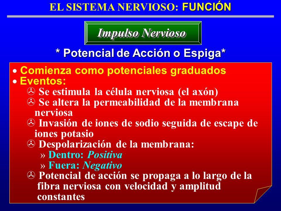 FUNCIÓN EL SISTEMA NERVIOSO: FUNCIÓN * Potencial de Acción o Espiga* Impulso Nervioso Comienza como potenciales graduados Eventos: > Se estimula la cé