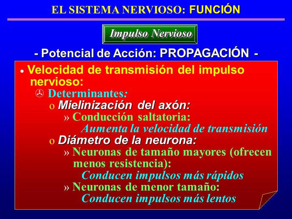 FUNCIÓN EL SISTEMA NERVIOSO: FUNCIÓN - Potencial de Acción: PROPAGACIÓN - Impulso Nervioso Velocidad de transmisión del impulso nervioso: Determinante