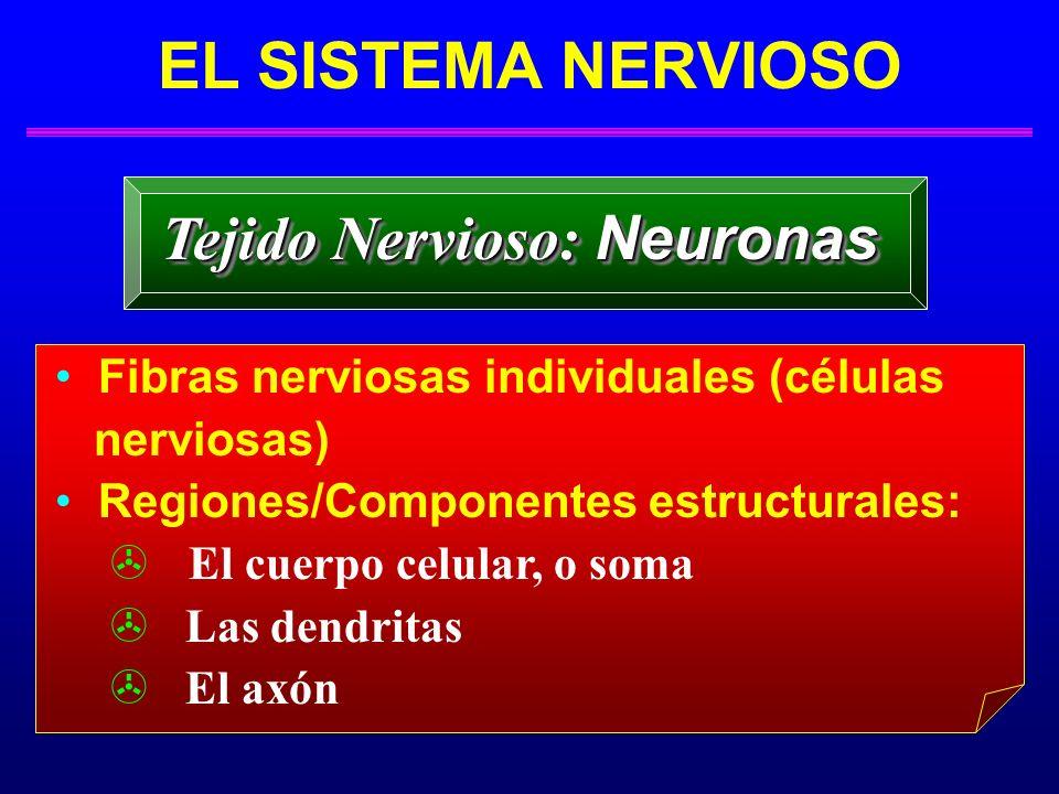 EL SISTEMA NERVIOSO Tejido Nervioso: Neuronas Fibras nerviosas individuales (células nerviosas) Regiones/Componentes estructurales: El cuerpo celular,