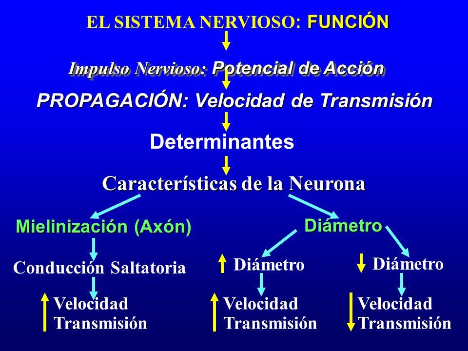 FUNCIÓN EL SISTEMA NERVIOSO : FUNCIÓN Impulso Nervioso: Potencial de Acción Características de la Neurona PROPAGACIÓN: Velocidad de Transmisión Mielin