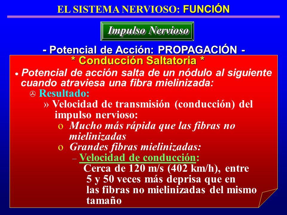 FUNCIÓN EL SISTEMA NERVIOSO: FUNCIÓN - Potencial de Acción: PROPAGACIÓN - Impulso Nervioso Potencial de acción salta de un nódulo al siguiente cuando