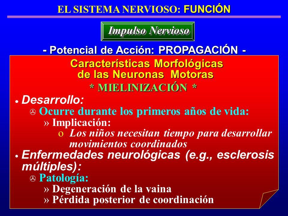 FUNCIÓN EL SISTEMA NERVIOSO: FUNCIÓN - Potencial de Acción: PROPAGACIÓN - Impulso Nervioso Desarrollo: > Ocurre durante los primeros años de vida: » I