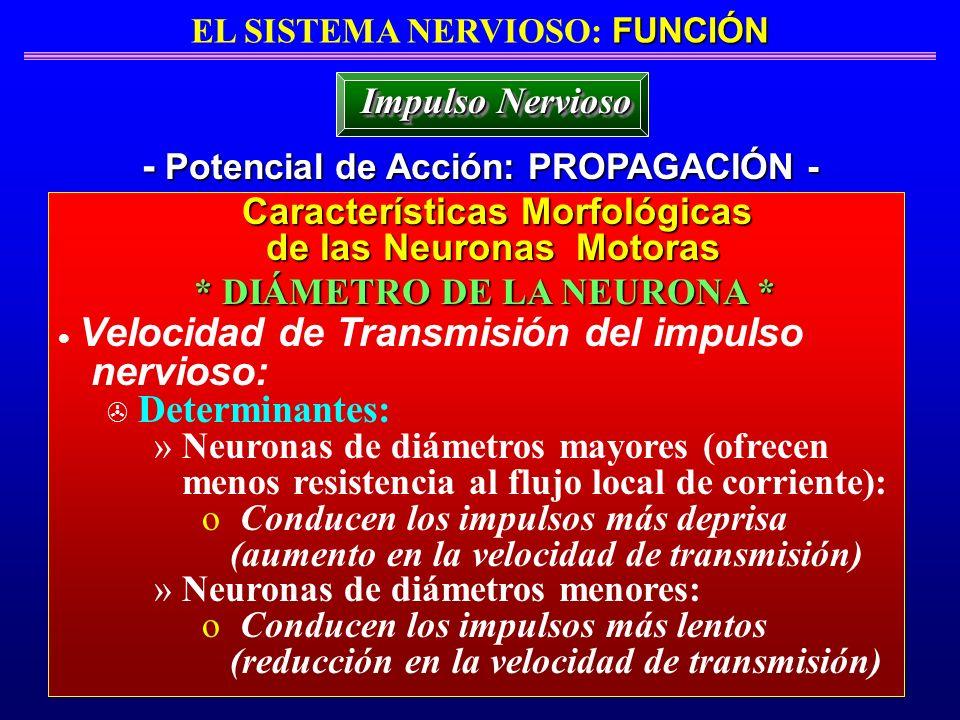 FUNCIÓN EL SISTEMA NERVIOSO: FUNCIÓN - Potencial de Acción: PROPAGACIÓN - Impulso Nervioso Velocidad de Transmisión del impulso nervioso: > Determinan