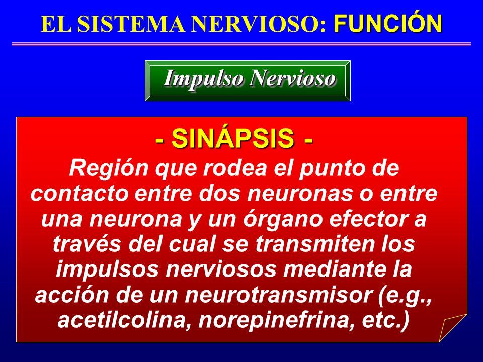 FUNCIÓN EL SISTEMA NERVIOSO: FUNCIÓN - SINÁPSIS - Impulso Nervioso Región que rodea el punto de contacto entre dos neuronas o entre una neurona y un ó