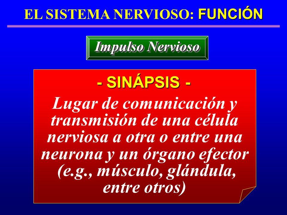 FUNCIÓN EL SISTEMA NERVIOSO: FUNCIÓN - SINÁPSIS - Impulso Nervioso Lugar de comunicación y transmisión de una célula nerviosa a otra o entre una neuro