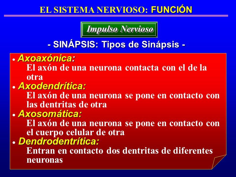 FUNCIÓN EL SISTEMA NERVIOSO: FUNCIÓN - SINÁPSIS: Tipos de Sinápsis - Impulso Nervioso Axoaxónica: El axón de una neurona contacta con el de la otra Ax