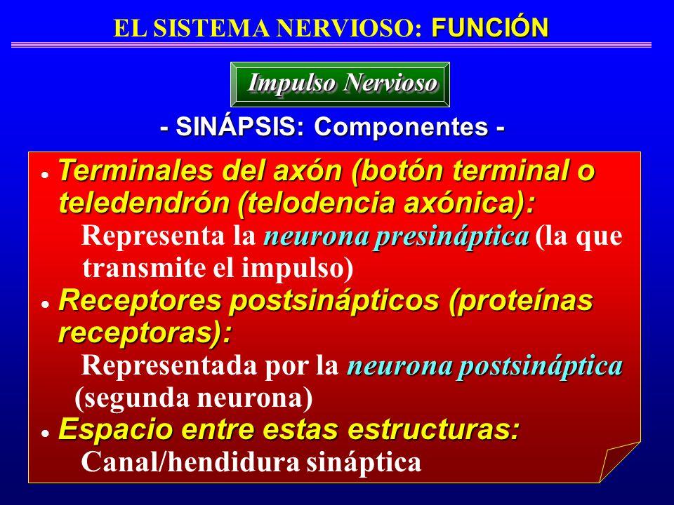 FUNCIÓN EL SISTEMA NERVIOSO: FUNCIÓN - SINÁPSIS: Componentes - Impulso Nervioso Terminales del axón (botón terminal o teledendrón (telodencia axónica)