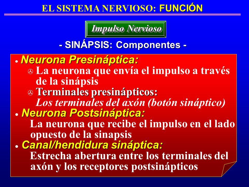 FUNCIÓN EL SISTEMA NERVIOSO: FUNCIÓN - SINÁPSIS: Componentes - Impulso Nervioso Neurona Presináptica: > La neurona que envía el impulso a través de la