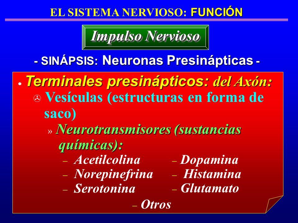FUNCIÓN EL SISTEMA NERVIOSO: FUNCIÓN - SINÁPSIS: Neuronas Presinápticas - Terminales presinápticos: del Axón: > Vesículas (estructuras en forma de sac