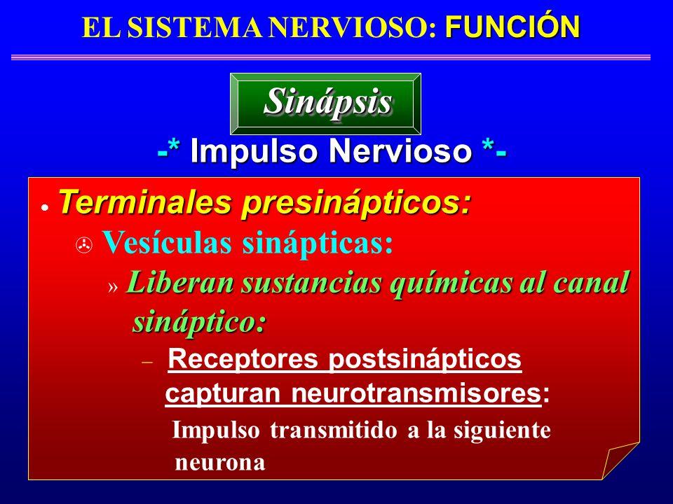 FUNCIÓN EL SISTEMA NERVIOSO: FUNCIÓN -* Impulso Nervioso *- Terminales presinápticos: > Vesículas sinápticas: Liberan sustancias químicas al canal » L