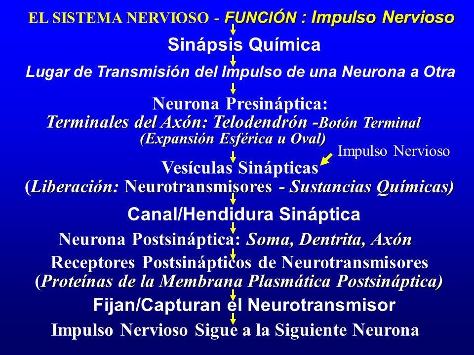 FUNCIÓN : Impulso Nervioso EL SISTEMA NERVIOSO - FUNCIÓN : Impulso Nervioso Sinápsis Química Terminales del Axón: Telodendrón - Botón Terminal (Expans
