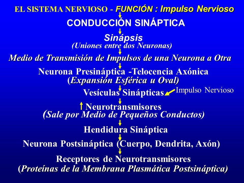 FUNCIÓN : Impulso Nervioso EL SISTEMA NERVIOSO - FUNCIÓN : Impulso Nervioso CONDUCCIÓN SINÁPTICA Medio de Transmisión de Impulsos de una Neurona a Otr