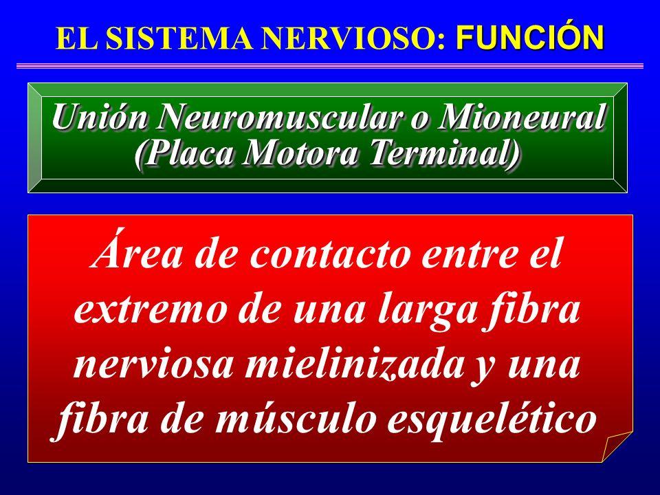 FUNCIÓN EL SISTEMA NERVIOSO: FUNCIÓN Área de contacto entre el extremo de una larga fibra nerviosa mielinizada y una fibra de músculo esquelético Unió
