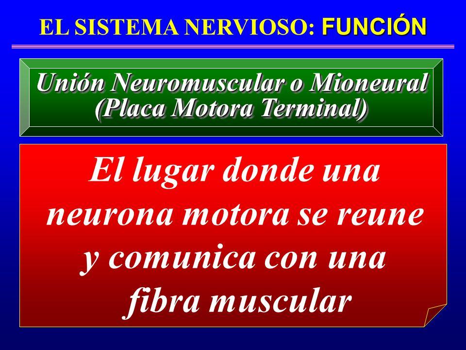 FUNCIÓN EL SISTEMA NERVIOSO: FUNCIÓN El lugar donde una neurona motora se reune y comunica con una fibra muscular Unión Neuromuscular o Mioneural (Pla