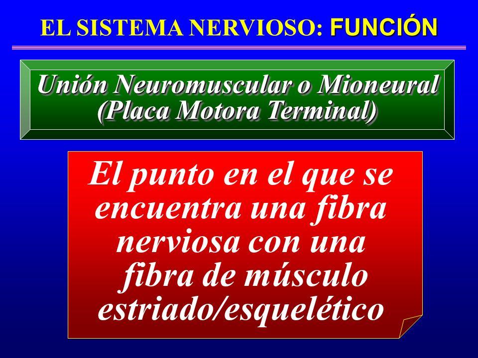 FUNCIÓN EL SISTEMA NERVIOSO: FUNCIÓN El punto en el que se encuentra una fibra nerviosa con una fibra de músculo estriado/esquelético Unión Neuromuscu