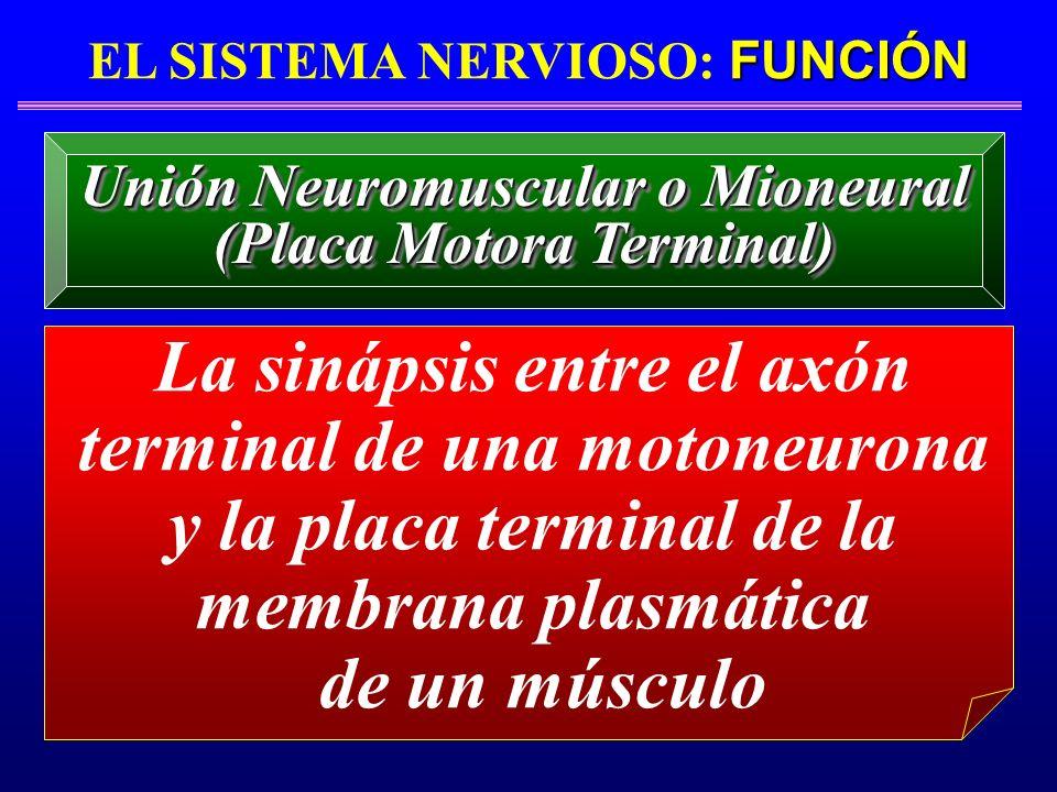 FUNCIÓN EL SISTEMA NERVIOSO: FUNCIÓN La sinápsis entre el axón terminal de una motoneurona y la placa terminal de la membrana plasmática de un músculo