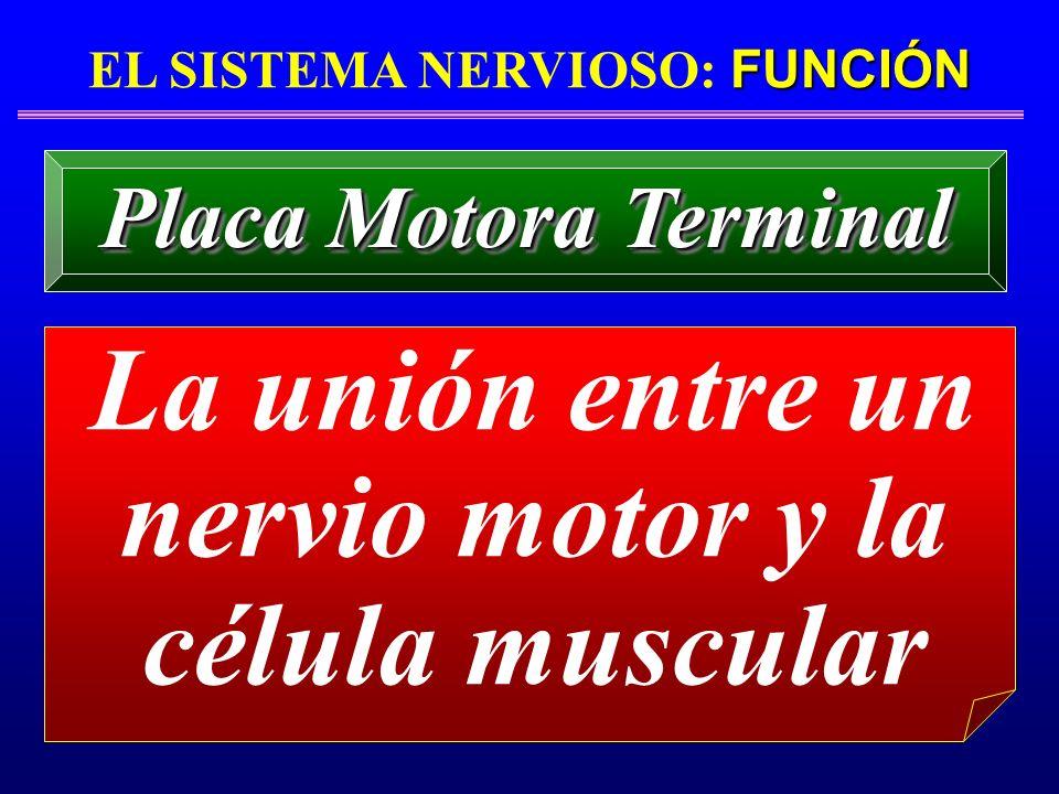 FUNCIÓN EL SISTEMA NERVIOSO: FUNCIÓN La unión entre un nervio motor y la célula muscular Placa Motora Terminal