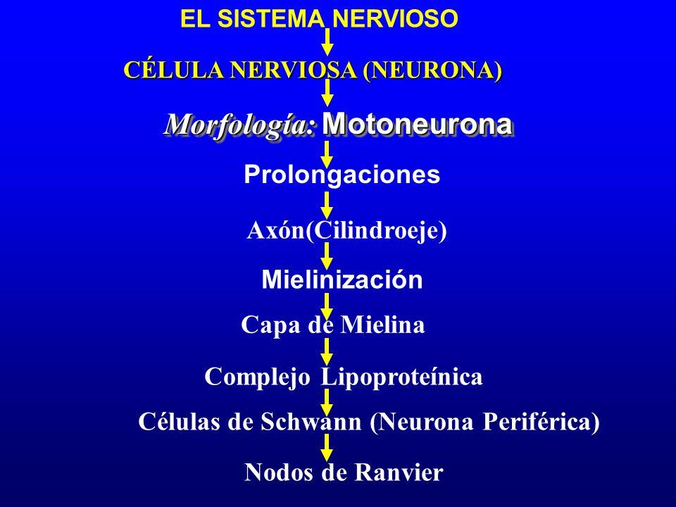 EL SISTEMA NERVIOSO Morfología: Motoneurona Capa de Mielina CÉLULA NERVIOSA (NEURONA) Prolongaciones Mielinización Complejo Lipoproteínica Células de