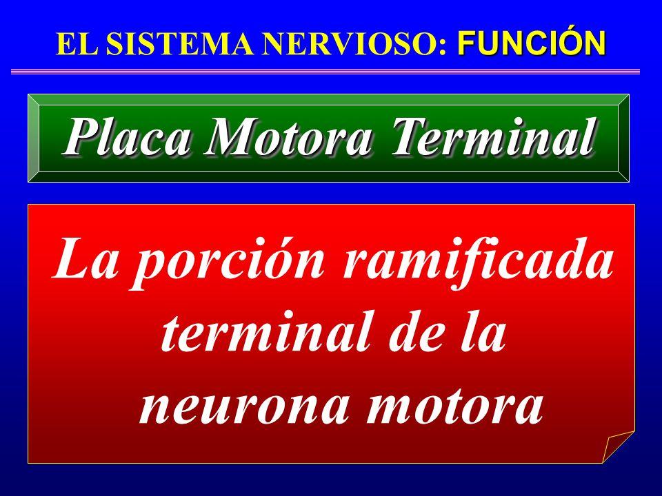 FUNCIÓN EL SISTEMA NERVIOSO: FUNCIÓN La porción ramificada terminal de la neurona motora Placa Motora Terminal