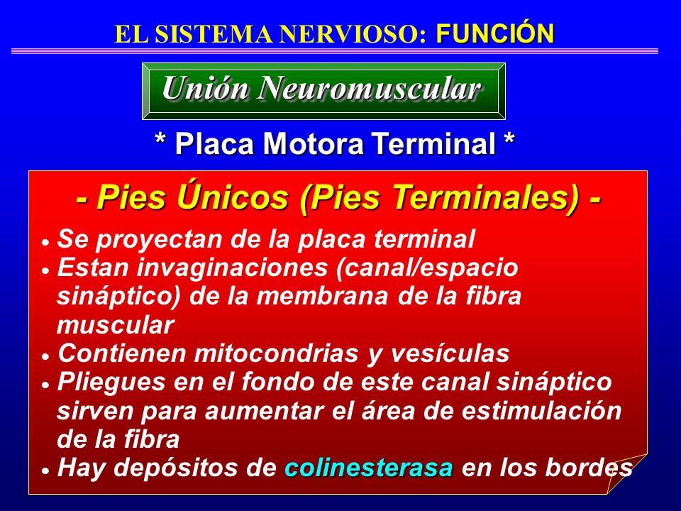 FUNCIÓN EL SISTEMA NERVIOSO: FUNCIÓN * Placa Motora Terminal * - Pies Únicos (Pies Terminales) - Unión Neuromuscular Se proyectan de la placa terminal