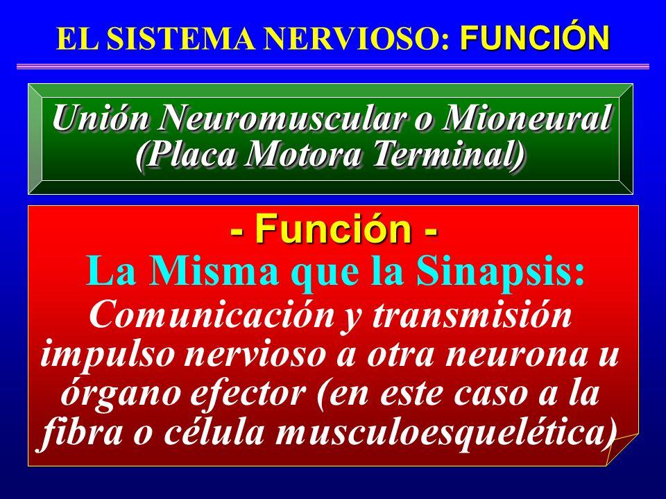 FUNCIÓN EL SISTEMA NERVIOSO: FUNCIÓN - Función - La Misma que la Sinapsis: Unión Neuromuscular o Mioneural (Placa Motora Terminal) Unión Neuromuscular