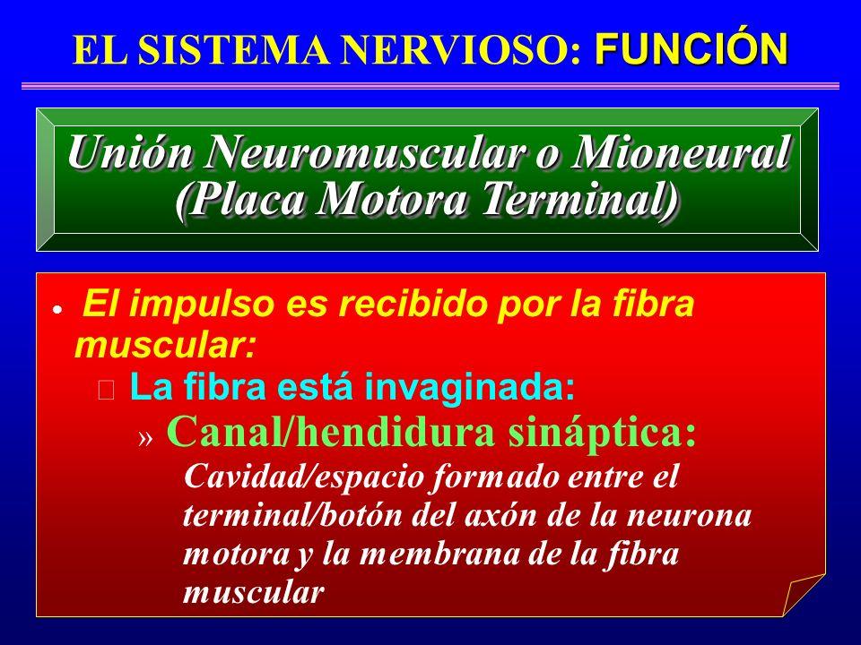 FUNCIÓN EL SISTEMA NERVIOSO: FUNCIÓN El impulso es recibido por la fibra muscular: La fibra está invaginada: » Canal/hendidura sináptica: Cavidad/espa