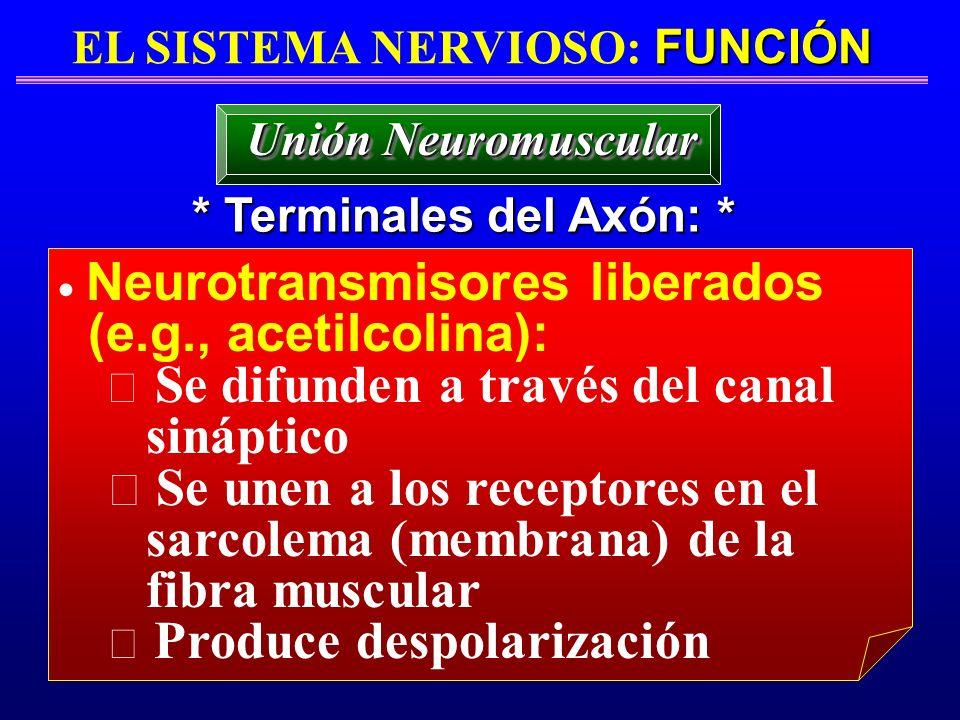 FUNCIÓN EL SISTEMA NERVIOSO: FUNCIÓN * Terminales del Axón: * Unión Neuromuscular Neurotransmisores liberados (e.g., acetilcolina): Se difunden a trav
