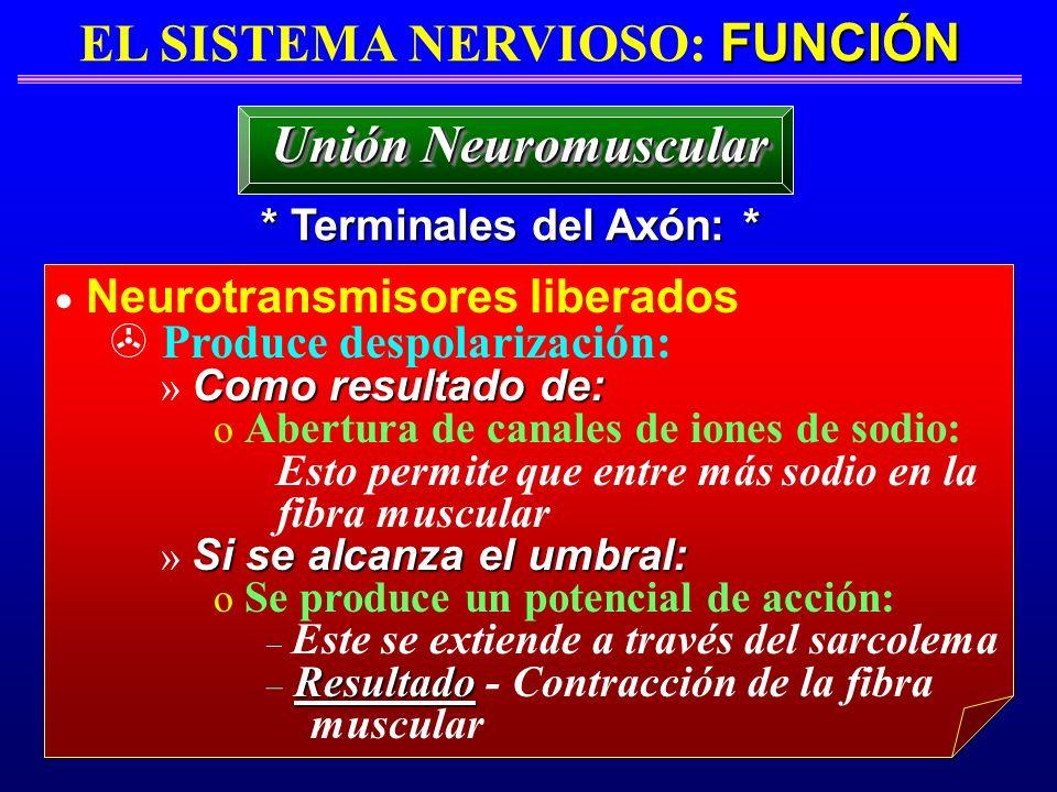FUNCIÓN EL SISTEMA NERVIOSO: FUNCIÓN * Terminales del Axón: * Unión Neuromuscular Neurotransmisores liberados > Produce despolarización: Como resultad